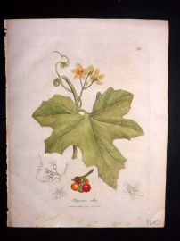 Woodville 1810 Hand Col Botanical Print. Bryonia Alba 73